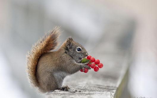 Обои Белка держит в лапках гроздь красных ягод