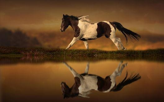 Обои Бело-коричневая лошадь скачет по берегу водоема, отражаясь в воде, на размытом фоне
