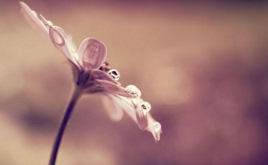 Обои Цветок с каплей росы