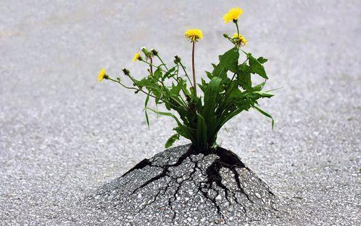 Обои Проросшие сквозь асфальт цветы одуванчика