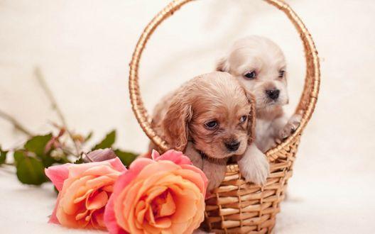 Обои Два милых щенка сидят в плетеной корзине рядом лежат розы