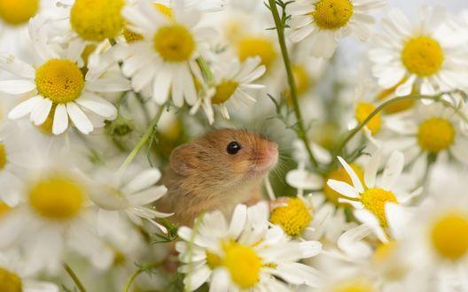 Обои Милая мышка выглядывает из ромашек