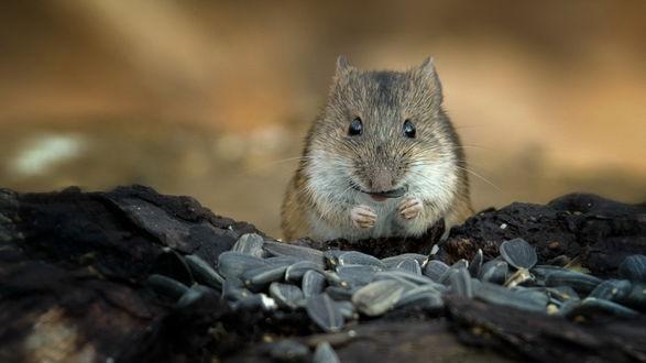Обои Мышь-полевка, сидящая на земле в окружении большого количества семечек, автор Валерий Субачев