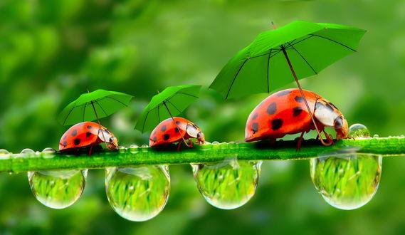 Обои Божьи коровки, ползущие по зеленой травинке с каплями воды под маленькими, зелеными зонтиками