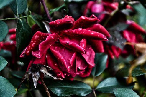 Обои Бордовая роза в каплях росы