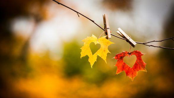 Обои На ветке прищепками прицеплены два листа с осенней раскраской, желтый и красный с вырезанными в них сердечками, на размытом фоне природы