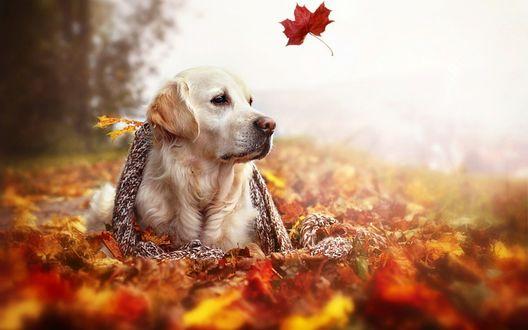 Обои Золотой ретривер лежит в осенних листьях укутанный в шарф над ним летает лист