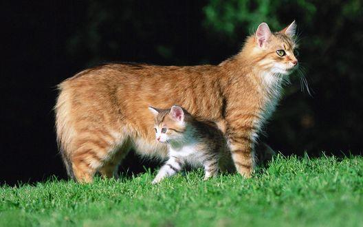 Обои Котенок прячется под брюшком кошки на лужайке