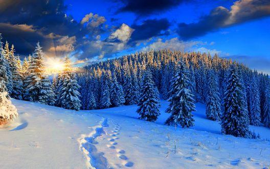 Обои Золотистые, солнечные лучи на утреннем, синем небосклоне с темными облаками осветили еловый, заснеженный лес с человеческими следами на глубоком, белоснежном снегу