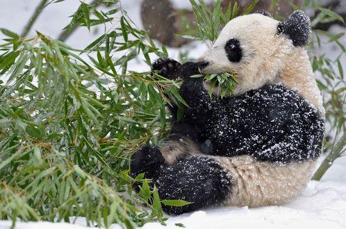 Обои Заснеженная панда с наслаждением поедает сладкие листья бамбука