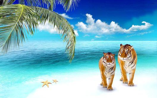 Обои Полосатые тигры, прогуливающиеся по песчаному пляжу океанского побережья, растущей пальмой и морскими звездами на песке на фоне синего неба с белыми, кучевыми облаками
