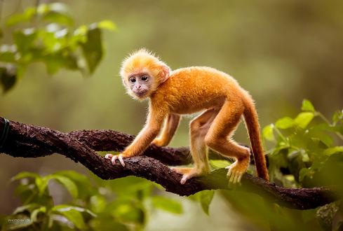 Обои Необычного окраса обезьянка, передвигающаяся по веткам дерева на размытом фоне, автор Лола Пидлуская