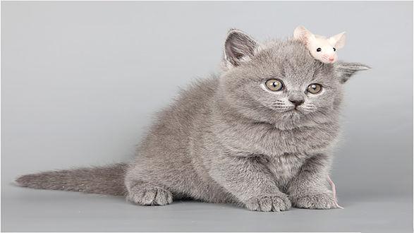 Обои Маленький серый котенок с белой мышкой на голове