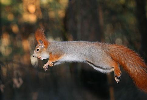 Обои Белка с зажатым в зубах орехом фундук в красивом прыжке на размытом фоне, автор Вадим Трунов