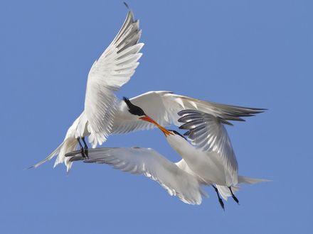 Обои Две белые чайки целуются в небе