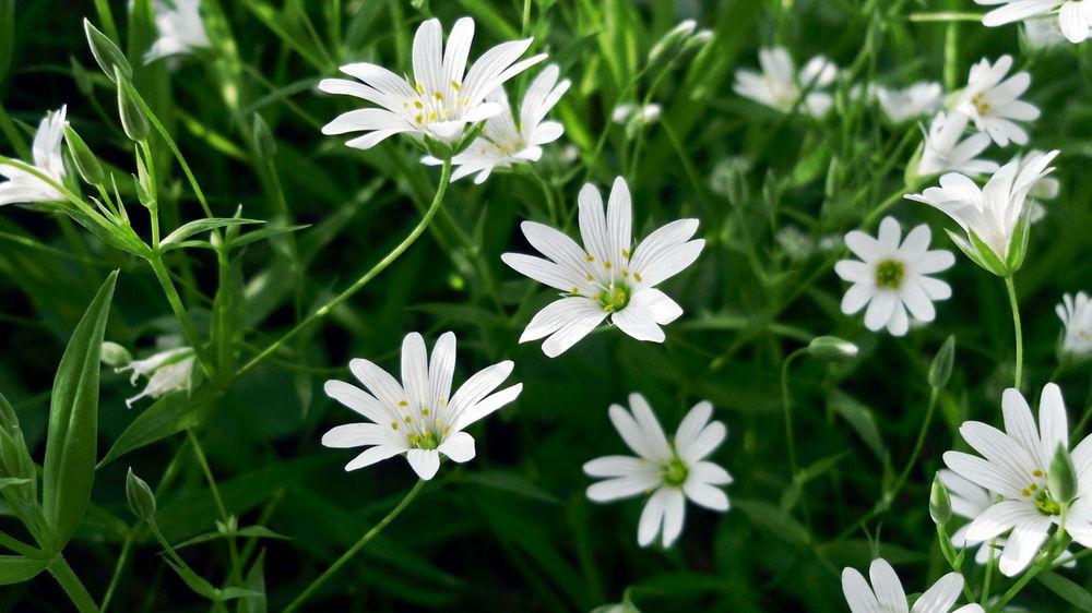 Полевые белые цветы фото
