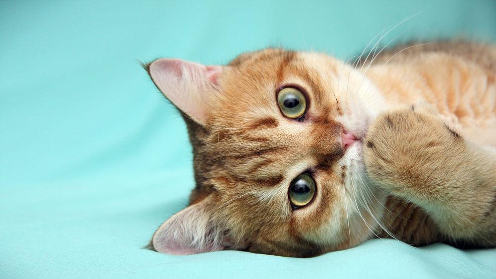 Кот с рыжей лапой