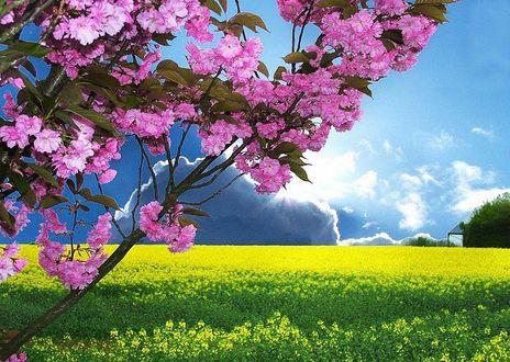 Обои Ветки цветущей сакуры на фоне поля с цветущими желтыми цветами растениями и голубого облачного неба