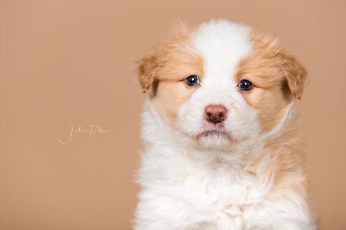 Обои Маленький милый щенок, ву Julia Poker