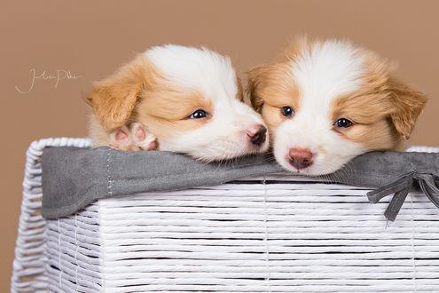 Обои Два щенка в корзине, ву Julia Poker