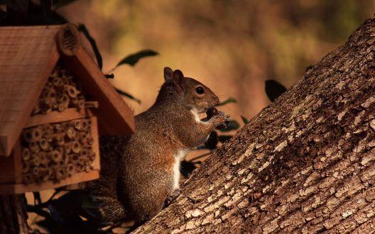 Обои Белка, держащая в лапах орех, сидящая на стволе дерева невдалеке от маленького, деревянного домика