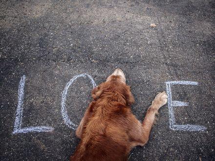 Обои Собака лежит на асфальте на котором написано love