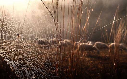 Обои Паутина с пауком на ней, сплетенная между сухими травинками, пасущимися на лесной опушке овцами на рассвете на фоне ослепительных, солнечных лучей