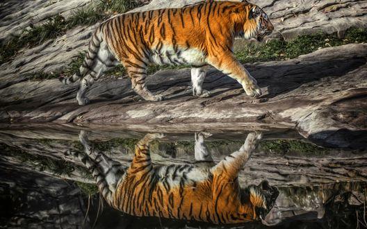 Обои Тигр идет по скалам и отражается в воде