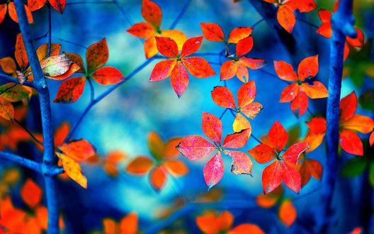 Обои Голубые ветки дерева с желтыми и красными осенними листьями на синем фоне