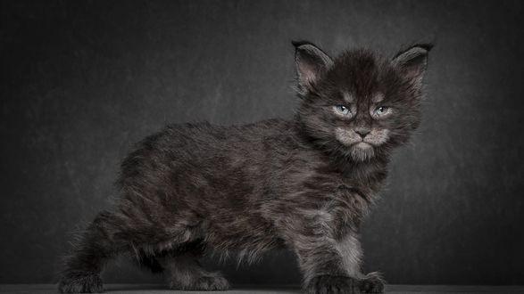 Обои Котенок породы мэйн-кун на темном фоне