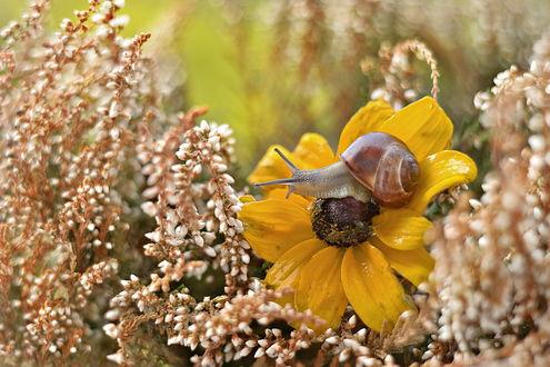 Обои Улитка, сидящая на желтом цветке на размытом фоне, автор Katarzyna Zaluzna