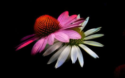 Обои Белый и розовый цветы на черном фоне
