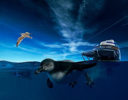 Обои Пингвин, плывущий в морской воде впереди небольшого катера, тянущего его за собой на фоне синего небосклона с небольшой облачностью, парящей в воздухе морской чайкой, автор Garas Ionut