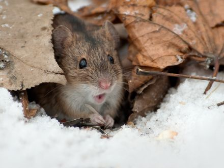 Обои Мышка под листьями, фотограф Валерий Субачев