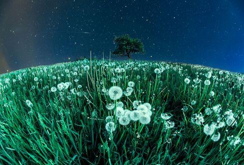 Обои Дерево в конце поля с отцветшими одуванчиками, фотограф Kljuchenkow Aleksandr