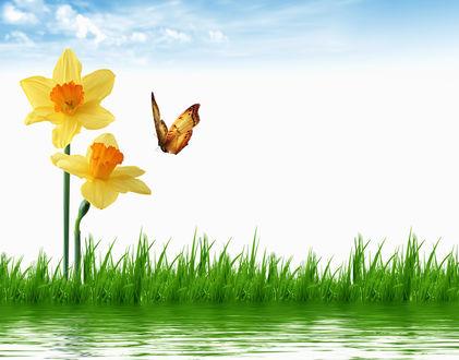 Обои Бабочка-крапивница, подлетающая к нарциссам, растущим среди зеленой травы на берегу водоема