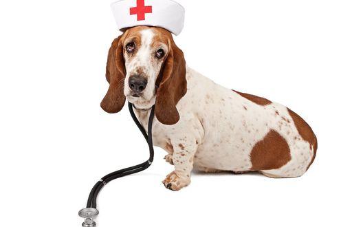 Обои Собака породы бассет хаунд в медицинской шапочке с красным крестом и фонендоскопом на шее