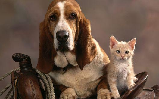 Обои Собака породы бассет хаунд, сидящая рядом с котенком