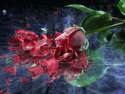 Обои Бутон розы разбился на мелкие осколки при падении на лед