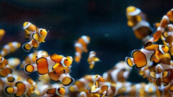 Обои В воде плавает множество рыбок-клоунов