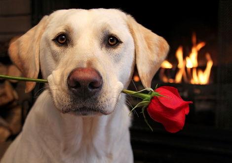 Обои Лабрадор с красной розой