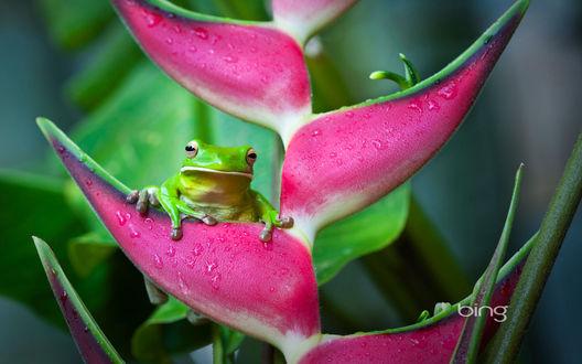 Обои Зеленый лягушонок, сидящий на розовых лепестках цветка в каплях воды (bing)