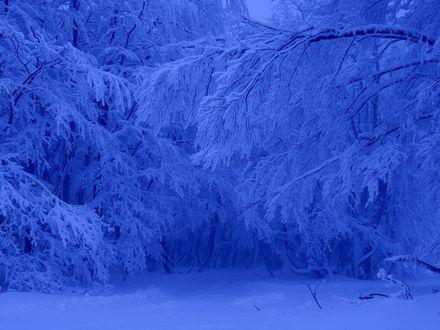 Обои Зимние деревья в голубом тоне