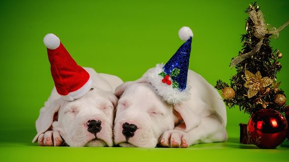 Обои Два белых щенка аргентинских догов спят плотно прижавшись друг к другу, в шапочках Санта-Клауса возле украшенной игрушками новогодней елки