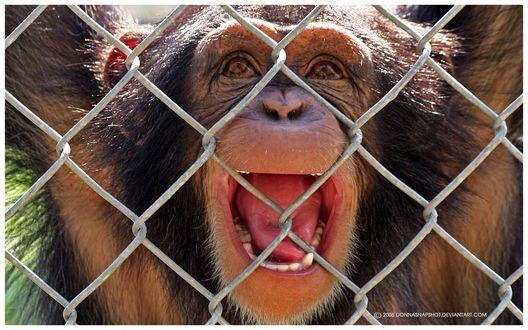 Обои Обезьяна шимпанзе схватившись руками за сетку клетки, с оживлением приветствует посетителей зоопарка