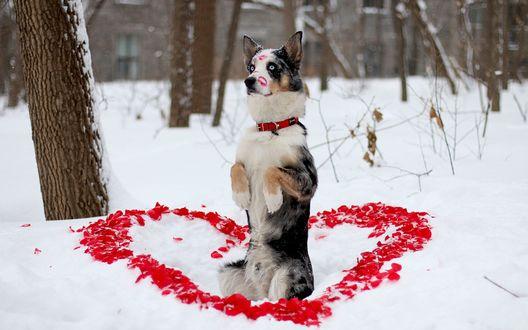Обои Собака стоит на задних лапах, присев на снег в окружении выложенного вокруг него сердца из лепестков красных цветов со следами на морде поцелуев в губной помаде