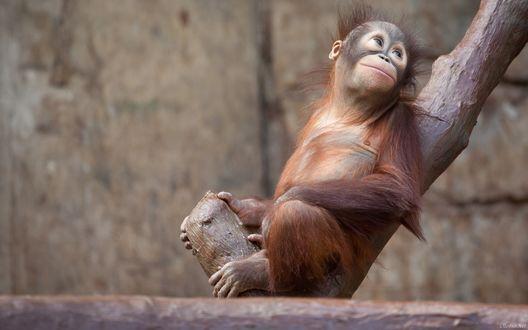Обои Маленький орангутанг сидит на сухом стволе дерева
