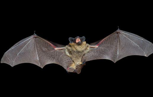 Обои Летучая мышь летит в ночном небе, открыв рот