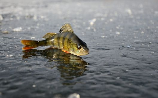 Обои Рыба окунь лежит на льду