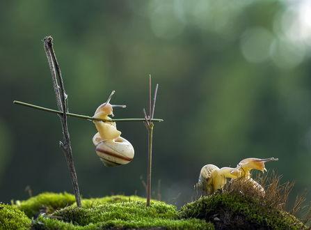 Обои Улитка, повисшая на зеленом прутике, расположенным между двумя другими прутиками над зеленым мхом, рядом сидит еще одна улитка, автор Anatolih
